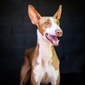 Podenco Rusty by SHane Green